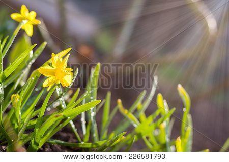 Yellow Blooming Daffodil. Low Angle. Sunshine. Sunrise.
