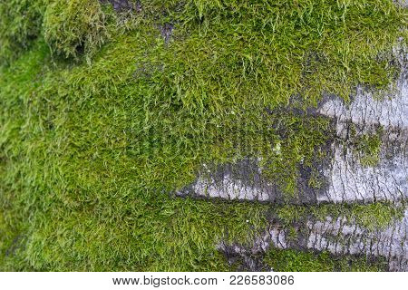 Relief Grey Bark Of Palm Trees With Green Moss. Natural Background, Texture.