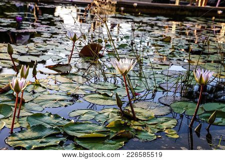 A Pond Full Of White Fragile Lilies