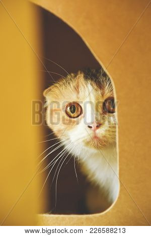 Scottish Fold Cat Looking Something On Yellow Background. Copy Space.