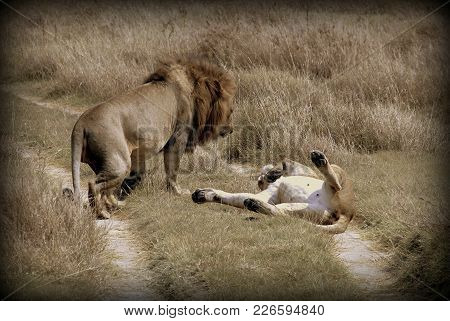 A Couple Of Lions In The Sabana Of Africa, Tanzania