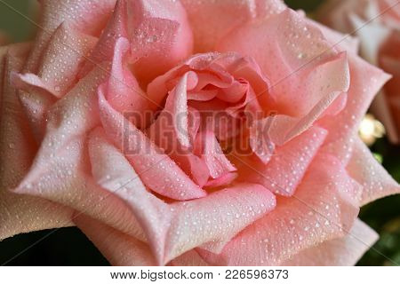 Picture Of A Beauty Rose With The Dew Of The Morning