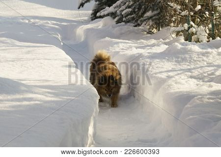 German Spitz On The Street In Winter Sneaks Through The Snow Drifts, A Portrait Of A Beautiful Dog