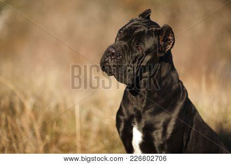 Large Dog Breed Cane Corso Black Beautiful Large Portrait
