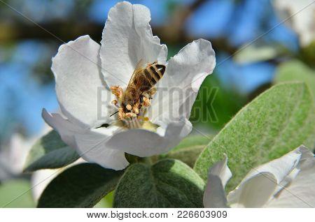 The Bee Gathers Nectar On Apple Inflorescence. Horizontal Photo