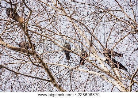Ravens, Rooks On A Branch, In The Wood In The Winter On A Birch Tree