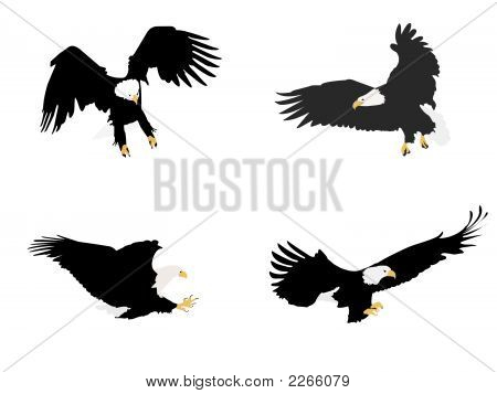 Bald Eagles Illustration