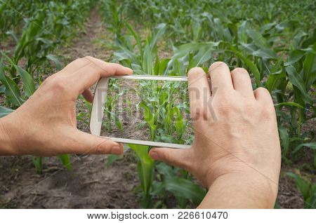 Agronomist Is Taking A Photo Of The Green Corn Field And Examining Crops. Agricultural Business Conc