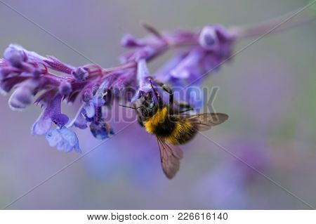 A Close-up Of A Bumblebee Collecting Pollen From A Purple Peppermint Flower.