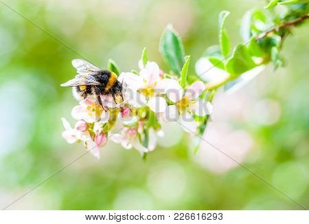 A Close-up Of A Spring Bumblebee Collecting Pollen From Blossoming Apple Tree.