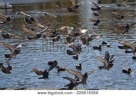 A Flock Of Pigeons And Ducks In Flight