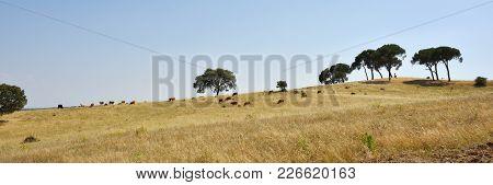 Alentejo Countryside Landscape. Cow And Calves Grazing Grass On Green Farmland Field Between Cork Oa