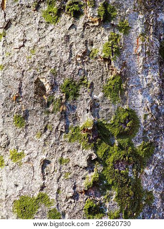 Grey Tree Trunk With Bright Green Moss. Vibrant Green Moss Growing Naturally In Patches On This Fore