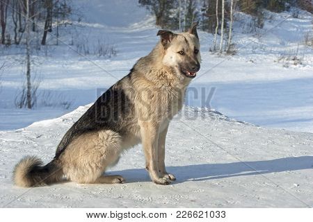 Portrait Of A Dog Mongrel With Fluffy Fur Sitting On Snow In Winter In The Forest