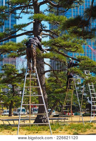 A Pair Of Arborists, Tree Surgeons, At Work In Tokyo Japan. A Tall Bonsai Style Japanese Black Pine,