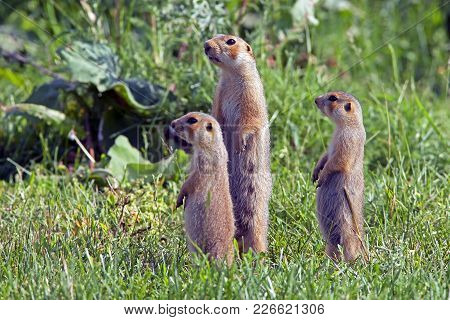 The Gophers Climbed Out Of The Hole On The Lawn , The Furry Cute  Gophers  Sitting On A Green Meadow