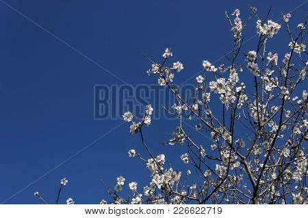 Branches Of An Almond Tree On The Background Of Blue Sky. Concept Of Spring Mood.