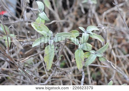Common Sage (salvia Officinalis) Aromatic Herb And Spice. Salvia Plant On Mountain In Early Spring