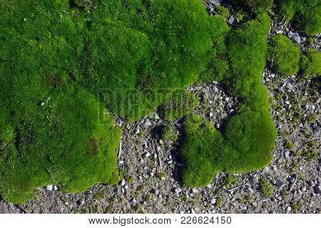 Texture Of The Green Moss For Background. Moss In The Forest In Spring.