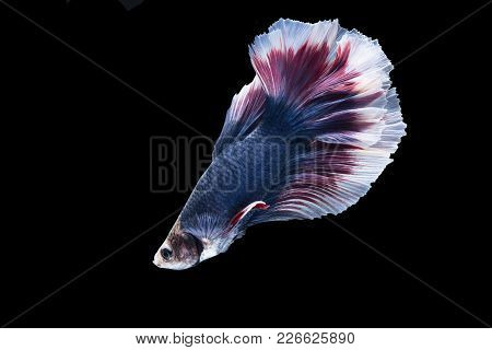 Beautiful Multicolored Siamese Fighting Fish Isolated On Black Background With Clipping Path