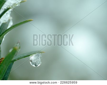 Water Drop On A Conifer Tree In Winter With Ice