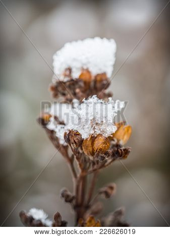 Detail Of A Dry Plant In The Winter Covered With Ice And Snow
