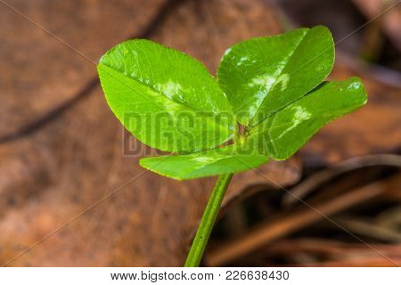 Horizontal Front Lit Close-up Photo Of A Green Four Leaf Clover With Brown Leaves In The Background