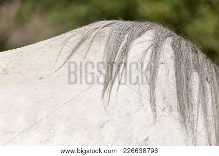 Mane Of A White Horse . In The Park In Nature