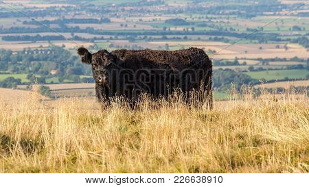 A Black Cow On The Cleveland Way Between Clay Bank And Wainstones, North York Moors, Near Stokesley,