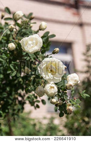Branch Of A Bush Of White Dog Rose
