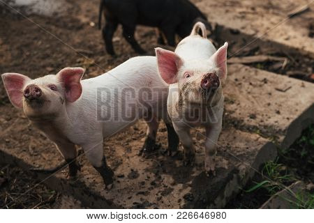 Two Cute Little Pigs  For Any Purpose
