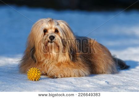 Beautiful Show Champion Havanese Female Dog Lying In A Snowy Park With A Yellow Ball