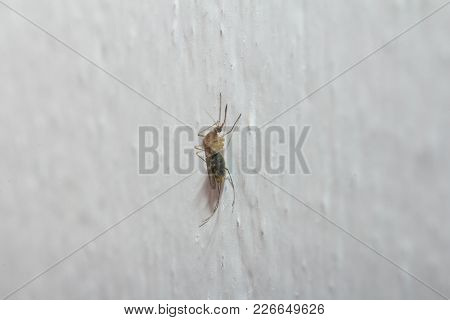 Mosquito On The White Wall. Macro . In The Park In Nature