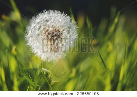 Dandelion With White Seeds In The Middle Of The Greenery, A Fine Spring Day