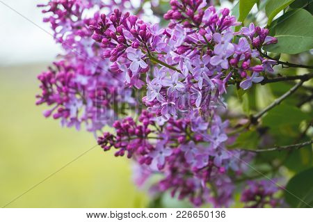 Flowering Lilac Branch, A Fine Spring Day, Pleasant Aroma