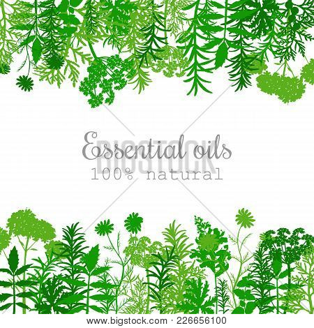 Popular Essential Oil Plants Label Set. Green Silhouettes. Flat Style. Peppermint, Lavender, Sage, M