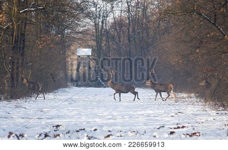 Red Deers On Snow In Forest