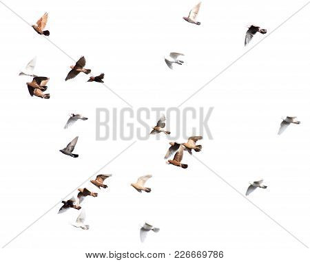 Flock Of Pigeons On A White Background .