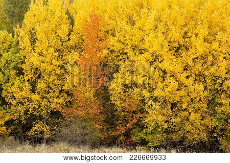 Seasons, Wild Nature, Ecology Concept. Almost All Trees Are Covered Bright Yellow Leaves But Some Of