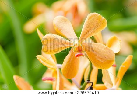 Orange Orchid Flower Blossom In A Garden