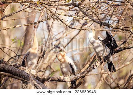 Juvenile Anhinga Bird Called Anhinga Anhinga And Snakebird Near The Nest In The Corkscrew Swamp Sanc