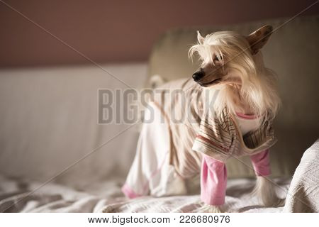 Cute Little Puppy, Chinese Crested Dog, Enjoying The Sunny Day At Home In Its Little Pajamas