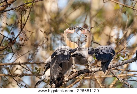 Two Juvenile Anhinga Birds Called Anhinga Anhinga And Snakebird Spar