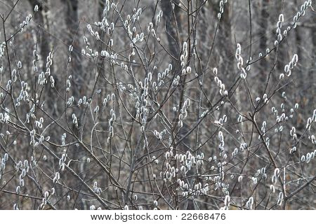 Pussy Willow, American (Salix discolor)