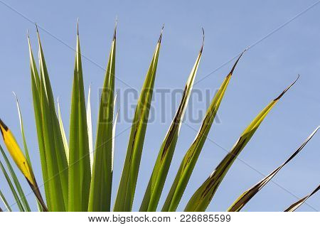 Palm Leaves Close-up Against Blue Sky. The Sun On The Green Leaves Of The Palm. Nature Background, P
