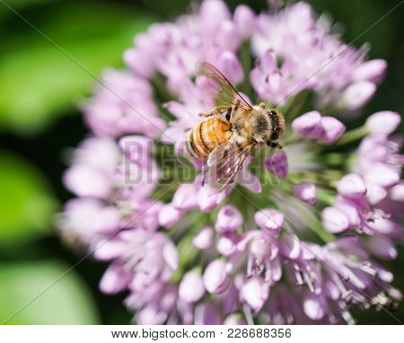 Close-up Of Honey Bee On Purple Flower In Garden