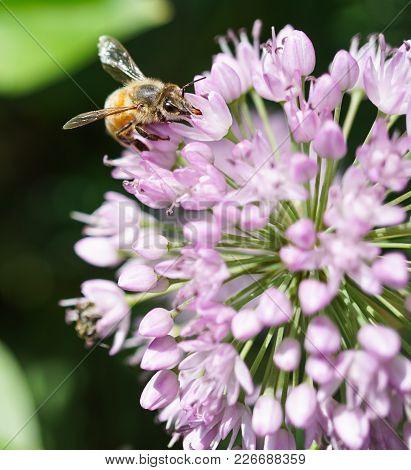 Close-up Of Honey Bee On Purple Flower In Garden.