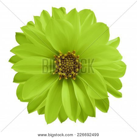 Dahlia Green-yellow Flower  On A White Isolated Background With Clipping Path.  Closeup No Shadows.