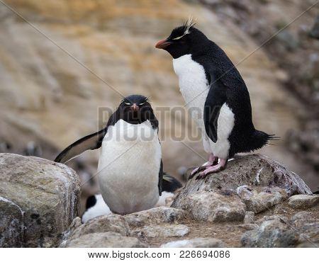 A Rockhopper Penguin Climbing Up Rocks Past A Standing Rockhopper Penguin With Pink Webbed Feet.