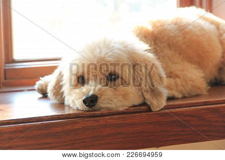 My Cute Dog Coca Resting Her Head